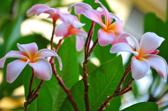 Frangipani. Flowers plant in the park. its fresh and still attach to its stem Royalty Free Stock Photo