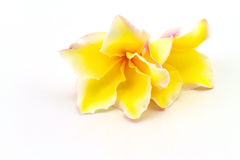 Frangipani flowers (Plumeria spp , Apocynaceae, Pagoda tree, Tem Royalty Free Stock Photos