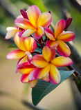 Frangipani flowers Stock Photography