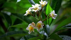 Frangipani flowers in the rain. Shift in focus. From near to far distances and back with professional lens. 1920*1080 stock footage