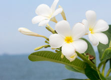 Frangipani flowers. Frangipani flowers by the sea background Stock Photo