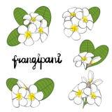 Frangipani flowers. Set of hand drawn plumeria flowers. Stock Photo
