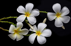 Frangipani flowers, Spa massage Stock Photos