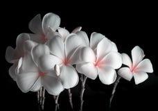 Frangipani flowers, Spa massage Royalty Free Stock Images