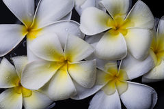 Frangipani flowers, Spa massage Royalty Free Stock Image