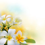 Frangipani flowers on sunshine morning background Royalty Free Stock Images