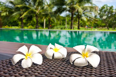 Frangipani flowers in the swimming pool Stock Images