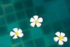 Frangipani flowers in the swimming pool Royalty Free Stock Photography