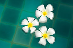 Frangipani flowers in the swimming pool Royalty Free Stock Photos