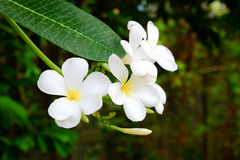 Frangipani flowers on a tree in the garden Stock Image