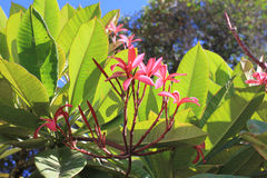 Frangipani flowers on tree Stock Image