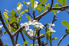 Frangipani flowers on the tree Stock Photography
