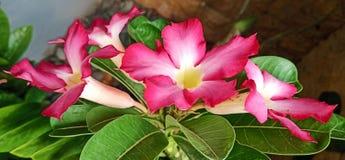 Frangipani flowers are very beautiful stock image