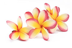 Frangipani flowers Stock Photos