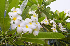 Frangipani flowers white with leaves Stock Photo