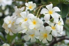 Frangipani flowers Royalty Free Stock Image