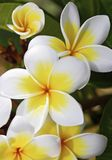 Frangipani flowers white and yellow. White and yellow Frangipani, or Plumeria Flower, at a close-up vertical, seen in the Philippines, Palawan Province royalty free stock photo