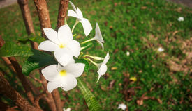 Frangipani flowers wilt. Royalty Free Stock Images