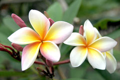 Frangipani flowers are yellowish white on tree. The Picture focus Frangipani flowers are yellowish white on tree stock photography