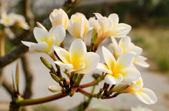 Frangipani in a garden. White flowers and green leaf on sunshine Stock Photo