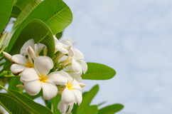Frangipani in a garden. White flowers and green leaf on sunshine Stock Photos