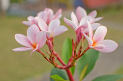 Frangipani in a garden. White flowers and green leaf on sunshine Stock Photography