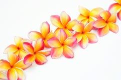 Frangipani giallo Immagini Stock
