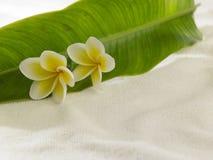 Frangipani giallo bianco Immagini Stock Libere da Diritti