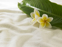 Frangipani giallo bianco Immagine Stock