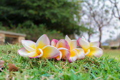 Frangipani on a grass background Stock Images