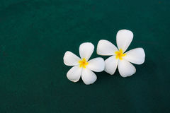 Frangipani on green background Stock Photography