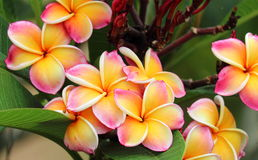 Frangipani. Group of Frangipani flowers blooming stock images