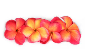 Frangipani. Group of frangipani flowers in vibrant yellow, orange and red tones Royalty Free Stock Photo