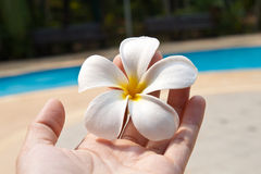 Frangipani in a hand Stock Photo