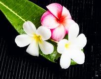 Frangipani hermoso Foto de archivo libre de regalías
