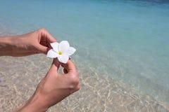 Frangipani hermoso de la flor Fotografía de archivo libre de regalías