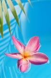 Frangipani im Pool Lizenzfreies Stockfoto