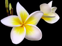 Frangipani (isolated). Tropical frangipani flower on black background Stock Images