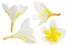 Frangipani isolated :  Aroma flower Stock Images