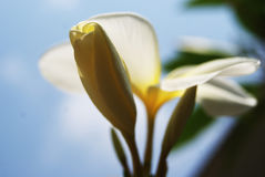 Frangipani ist ein Baum mit weißen Blumen Stockbild