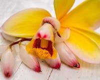 Frangipani jaune avec Shell Ginger Blossom variée photographie stock libre de droits