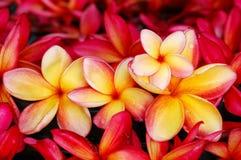 Frangipani jaune et rouge Photographie stock