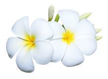 Frangipani kwiat Obrazy Royalty Free