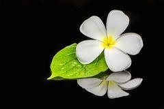 Frangipani kwiat Obrazy Stock