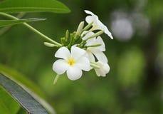 Frangipani kwiat Zdjęcia Stock