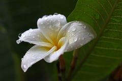Frangipani kwiat Obraz Stock