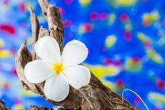 Frangipani kwiat na drewnie (Plumeria) Fotografia Stock
