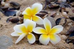 Frangipani kwiat na plaży Obrazy Stock