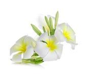 Frangipani kwiat odizolowywający na białym tle Zdjęcie Royalty Free