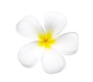 Frangipani kwiat odizolowywający na bielu Zdjęcia Stock